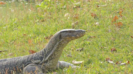 jaszczurka : Asian water monitor (Varanus salvator) in public park at center of Bangkok metropolis. Wideo