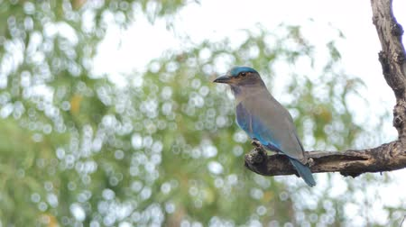 bird ecology : Indian roller bird (Coracias benghalensis) on branch in tropical rain forest.