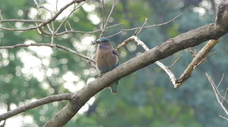 feathered : Indian roller bird (Coracias benghalensis) on branch in tropical rainforest. Stock Footage