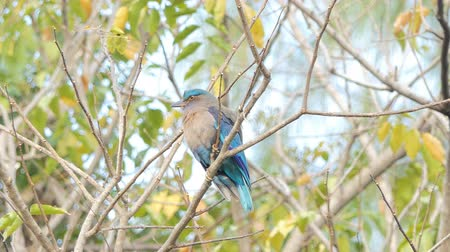 indian roller : Indian roller bird (Coracias benghalensis) on branch in tropical rain forest.