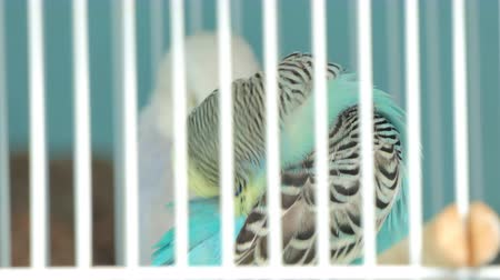stěhovavý : Zebra Parakeet bird (Melopsittacus undulatus) with beautiful colors in cage at pet market.