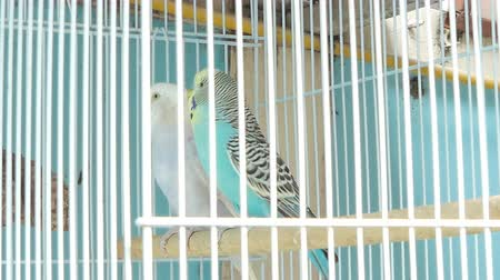 satılır : Zebra Parakeet bird (Melopsittacus undulatus) with beautiful colors in cage at pet market.