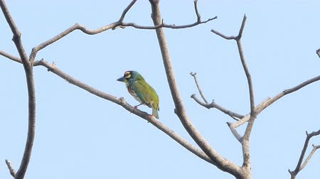 oco : Coppersmith barbet, Crimson-breasted barbet bird (Megalaima haemacephala) on the tree in tropical rain forest.