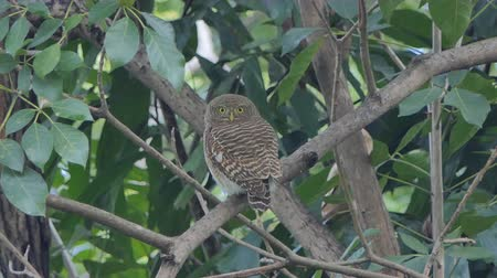 asian barbet : Collared owlet, Collared pygmy owl bird (Glaucidium brodiei) on tree in tropical rainforest.