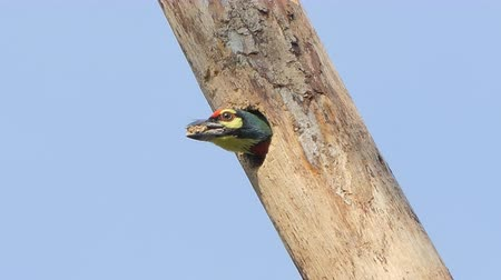 influenzy : Coppersmith barbet, Crimson-breasted barbet bird (Megalaima haemacephala) was building a nest on the tree