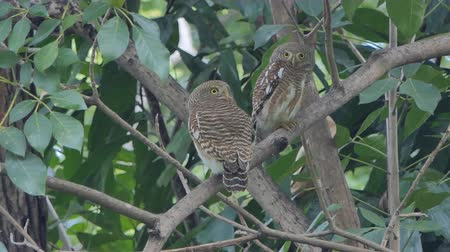 oco : Collared owlet, Collared pygmy owl bird (Glaucidium brodiei) on tree in tropical rainforest.