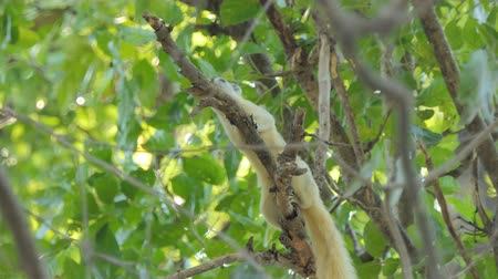 squirrel : Squirrel (Callosciurus erythraeus) eating seed on tree at tropical rain forest.