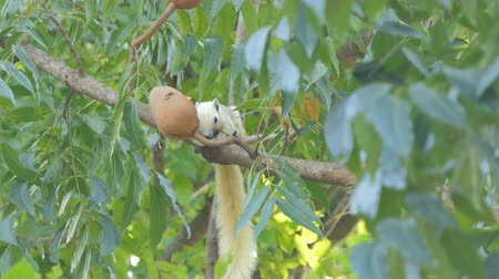 squirrel fur : Squirrel (Callosciurus erythraeus) eating seed on tree at tropical rain forest.