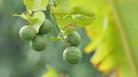 urlop : Kaffir lime, Bergamot (Citrus hystrix DC) fruits on tree, is herb of Southeast Asia Wideo