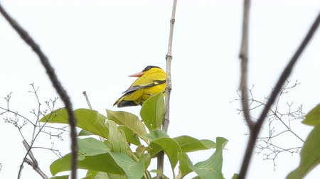 生態系 : Black-naped Oriole (Oriolus chinensis) on branch in tropical rain forest.