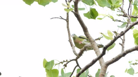 pigeon nest : Thick-billed Green Pigeon (Treron curvirostra) on branch in tropical rainforest.
