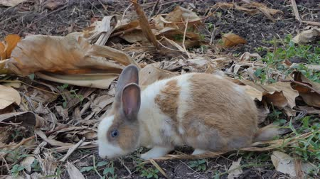 yırtıcı hayvan : Wild Thai rabbit in wilderness area at national park.