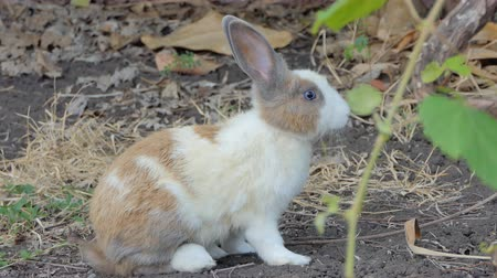 общий : Wild Thai domestic rabbit in wilderness area at national park. Стоковые видеозаписи