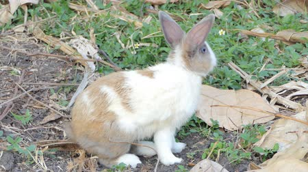 kafa yormak : Wild Thai domestic rabbit in wilderness area at national park. Stok Video