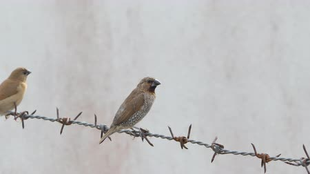farpado : Bird in the city, Scaly-breasted Munia birds (Lonchura punctulata) on on the barbed wire fence.
