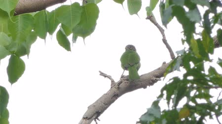 oco : Lineated Barbet bird (Megalaima lineata) on branch in tropical rain forest.