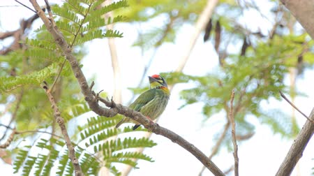 oco : Female Coppersmith barbet, Crimson-breasted barbet bird (Megalaima haemacephala) on the tree in tropical rain forest.
