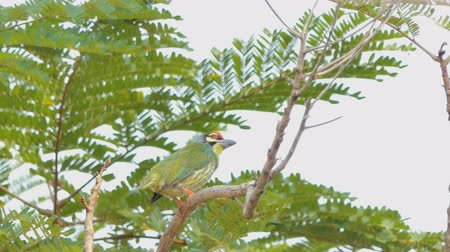 oco : Female Coppersmith barbet, Crimson-breasted barbet bird (Megalaima haemacephala) on the tree in tropical rainforest.