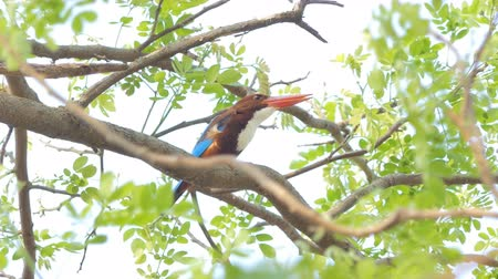 breed : White-throated Kingfisher (Halcyon smyrnensis) on branch in tropical rainforest.