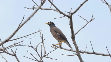 ekolojik : Common Myna bird (Acridotheres tristis) on branch in tropical rain forest.