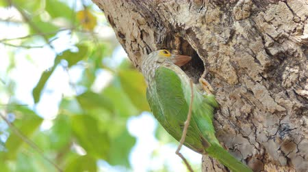 동물학 : Female Lineated Barbet bird (Megalaima lineata) in nests on high tree  in tropical rain forest.