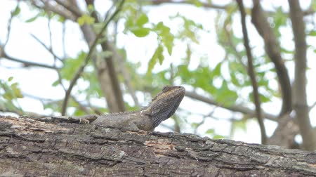 iguana : Chameleon on the tree in tropical rain forest. Stock Footage