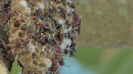 irritação : Crowd of wasp nest on tree in mixed deciduous forest.