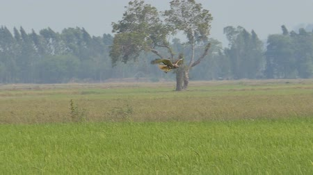 sas : Hawk flying on sky over field and looking prey. slow motion