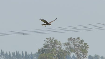 perching : Hawk flying on sky over field and looking prey. slow motion