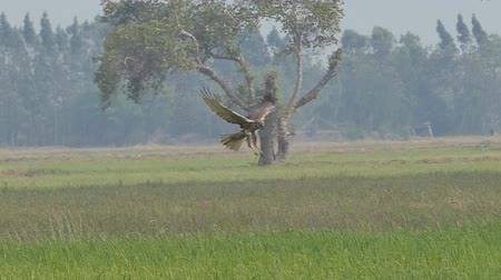 presa : Hawk flying on sky over field and looking prey. slow motion