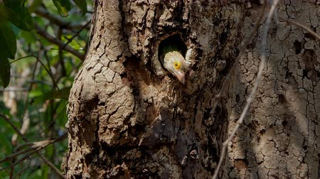 oco : Lineated Barbet bird (Megalaima lineata) living in to nests on high tree  in tropical rainforest.
