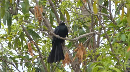 martin pescatore : Asian koel bird (Eudynamys scolopaceus) on branch in tropical rain forest.