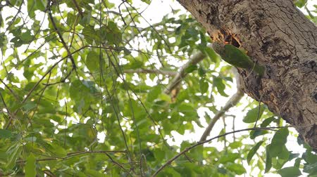 oco : Slow motion of Lineated Barbet bird (Megalaima lineata) are flying in to of the nest on high tree in tropical rain forest. Stock Footage