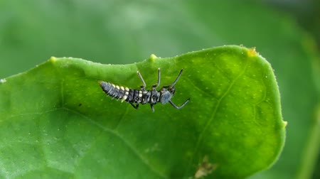 katicabogár : Larva of Ladybug (Micraspis discolor) on leaves in tropical rainforest.  Its natural enemies of insect pest.