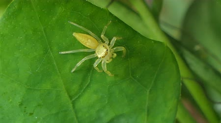 паук : Yellow jumping spider on leaves in tropical rain forest. Стоковые видеозаписи