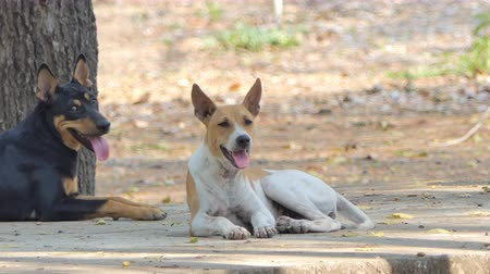 beira da estrada : Stray dog have body gaunt live in roadside, it is non have owner. Native dog of Thailand. Stock Footage