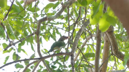 madriguera : Lineated Barbet bird (Megalaima lineata) on high tree in tropical rain forest. Archivo de Video