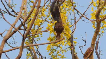 squirrel : Squirrel eating seed of flower on Golden Shower Tree (Cassia fistula). Stock Footage