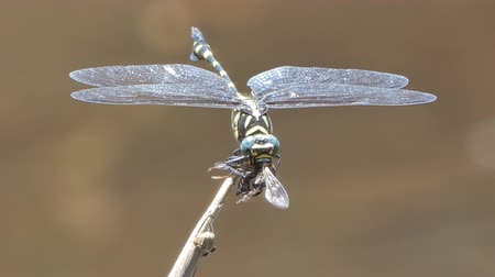 hmyz : Dragonfly catching bee for feeding.
