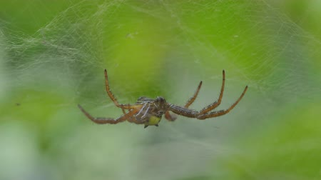 паук : Spider on cobweb  in tropical rain forest.