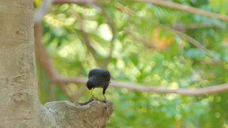 bird ecology : White-vented Myna bird (Acridotheres grandis) on tree is waiting for feeding young bird.