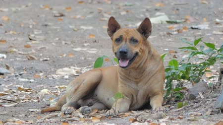guarda costas : Thai brown domestic dog resting on ground.