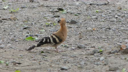 červ : Common Hoopoe bird (Upupa epops) are searching insects on ground in nature.