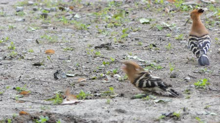 červ : Male bird is feeding the female bird in breeding season, Common Hoopoe bird (Upupa epops) are searching insects on ground in nature.