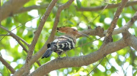stěhovavý : Common Hoopoe bird (Upupa epops) on branch in nature.