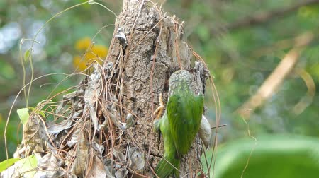 broca : Lineated Barbet bird (Megalaima lineata) are penetrating the tree find insects for food.