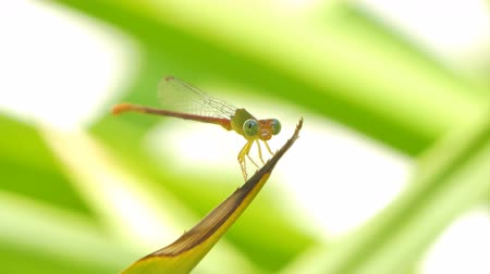 fragilidade : Dragonfly rest on leaf in backyard at summer. Stock Footage