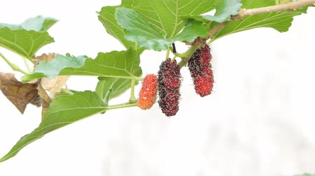 fleur de cerisier : Mulberry on tree in orchard of rural at Thailand. Vidéos Libres De Droits