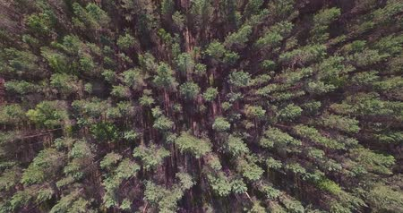 temperada : Cedar forest drone video
