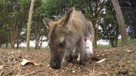 wallaby : Close-up view of kangaroo and joey eating Stock Footage